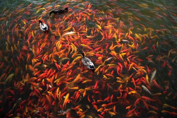 koi-fish-386049_1280