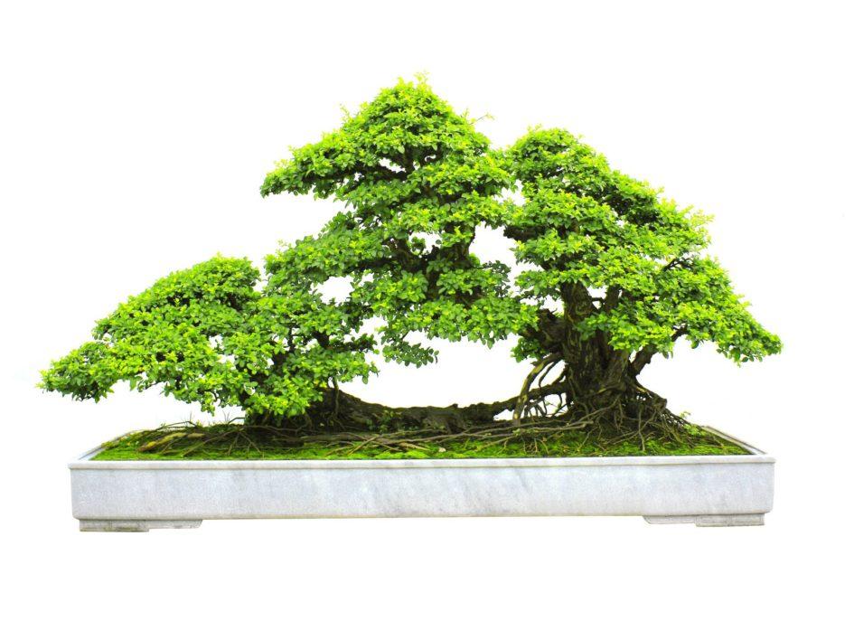 bonsai caratteristiche