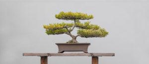 bonsaito bonsai torino